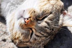 gekrulde katten grappige slaap Royalty-vrije Stock Foto's