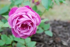 Gekrulde Roze Bloesem Stock Afbeeldingen