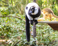Gekräuselter Lemur Stockfoto
