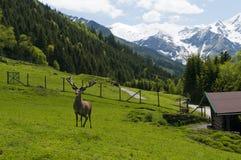 Gekweekte herten in dierlijk park Stock Foto's