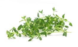 Geläufige frische Blätter des Thymians Stockfotografie