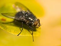 Geläufige Haus-Fliege (Musca domestica) Stockfoto