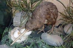 Geläufige Kiwi Stockbild
