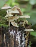 Geläufige Mütze Mycena Pilze Stockbild