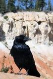 Geläufiger Rabe, Corvus corax Lizenzfreies Stockbild