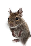 Geläufiges Degu, Auftragen-Angebundene Ratte, Octodon degus Lizenzfreie Stockfotos