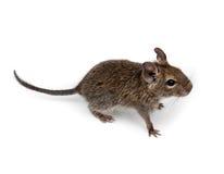 Geläufiges Degu, Auftragen-Angebundene Ratte, Octodon degus Lizenzfreie Stockbilder