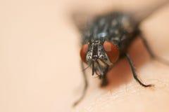 Geläufiges Fliegen-Makro Lizenzfreies Stockfoto