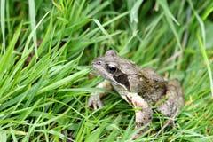 Geläufiges Frosch Rana temporaria lizenzfreie stockfotografie