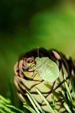 Geläufiges grünes Shieldbug Lizenzfreies Stockfoto