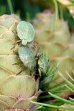 Geläufiges grünes Shieldbug Lizenzfreie Stockbilder