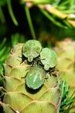 Geläufiges grünes Shieldbug Stockfoto