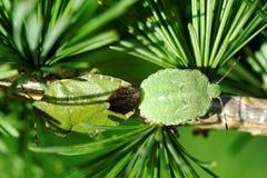 Geläufiges grünes Shieldbug Stockfotografie