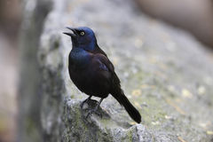 Geläufiges Grackle Stockfotografie