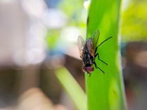 Geläufiges Haus-Fliegen-Makro Stockbild