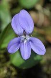 Geläufiges Hund-violettes - Viola riviniana Lizenzfreie Stockfotografie
