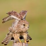 Geläufiges Kastrel/Falco tinnunculus Stockfotografie
