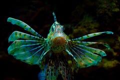 Geläufiges Lionfish oder Teufel firefish (Pteroismeilen) Lizenzfreie Stockbilder
