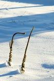 Geläufiges Mullein im Schnee Stockfotos