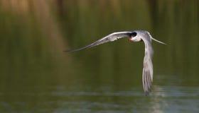 Geläufiges Seeschwalbenflugwesen lizenzfreies stockfoto