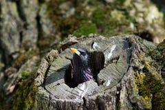 Geläufiges Starling (Sturnus gemein) Stockfotos