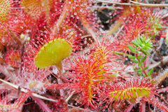 Geläufiges Sundew (Drosera rotundifolia) Stockfoto