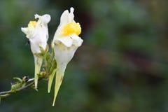 Geläufiges Toadflax (Linaria gemein) Stockfotos
