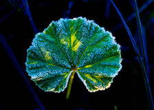 Gelée sur la feuille verte Photo libre de droits