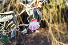 Gelée sur une fleur de rose pendant le début de la matinée sur une route froide image stock