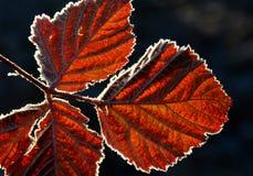 Gel du premier novembre sur feuilles Photos libres de droits