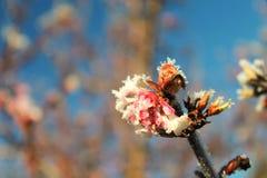 Gel lourd sur un de premi1ere floraison Photographie stock