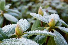 Gel sur le rhododendron Images libres de droits