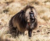 Gelada狒狒- Theropithecus gelada Simien山在埃塞俄比亚 图库摄影