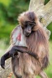 Gelada狒狒坐树 库存图片