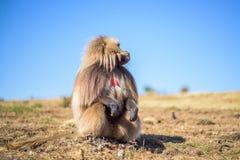 gelada狒狒画象  免版税库存图片
