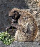 Gelada狒狒7 库存图片