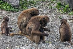 Gelada狒狒 库存照片