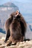 Gelada狒狒 免版税库存图片