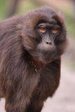 Gelada Royalty Free Stock Photos