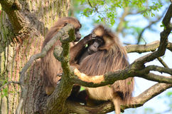 Gelada Affe auf Baum Stockbild