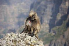 Gelada-Affe, der nach Lebensmittel sucht Lizenzfreie Stockfotos