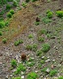 Gelada-Affe im Zoo in der Zitadelle in Besançon Stockfotografie