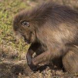 Gelada apa som söker för mat Arkivfoton