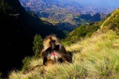 Gelada babian överst Arkivbilder