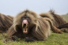 Gelada babian i Simien berg royaltyfri fotografi