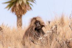 Gelada babian i torrt gräs royaltyfria foton