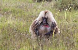 Gelada babian med dåligt hår i Simien berg, Etiopien arkivbild