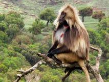 Gelada babian på träd royaltyfri bild