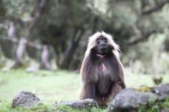 Gelada babian som äter gräs i Simien berg, Etiopien royaltyfri fotografi
