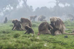 Gelada babianer, simien nationalparken, Etiopien royaltyfria foton